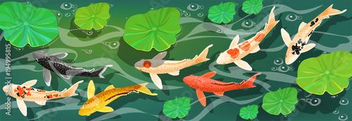 Valokuva Carps Koi fish under water. Vector illustration.