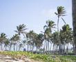 coqueiros da praia