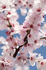 Obraz Prunus dulicis - Mandel, Mandelblüte