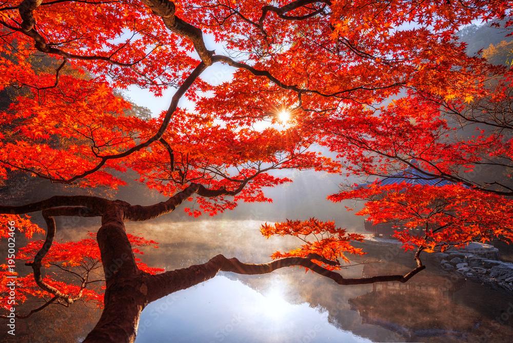 Fototapeta Autumn Maple red  in Naejangsan national park, South korea