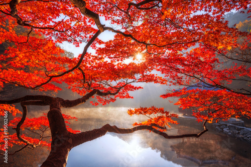 Poster Cuban Red Autumn Maple red in Naejangsan national park, South korea