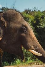 Big Elephant Standing