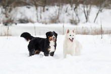 Two Dogs On A Winter Walk