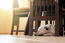 Jack Russel Dog Lying Under The Chair With Morning Light, Waiting His Owner.