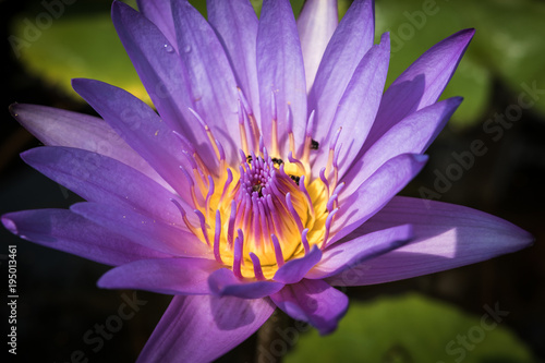 Foto op Canvas Lotusbloem Close up purple lotus in the basin