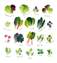 Common Leafy Greens Such As Lettuce, Curly Endive, Chards, Collards, Dinosaur Kale, Tat Soi, Radicchio, Curly Kale, Rhubarb, Dandelion, Sorrel, Arugula, Watercress, Mizuna, Mache And Spinach