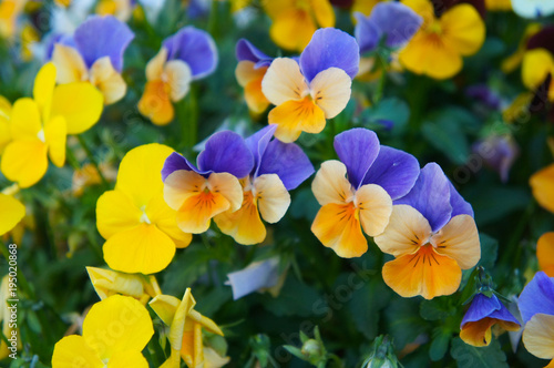 Papiers peints Pansies Viola cornuta pansy penny peach jump up orange, blue and yellow flowers