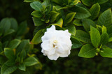 Gardenia jasminoides or gardenia or cape jasmine white flowers with green foliage