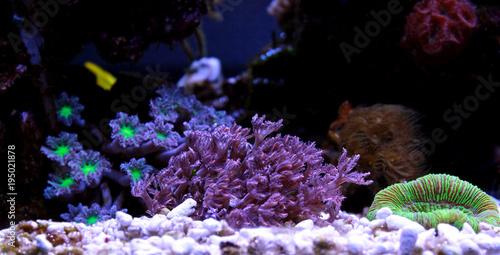 Staande foto Koraalriffen Clavularia Glove polyps coral