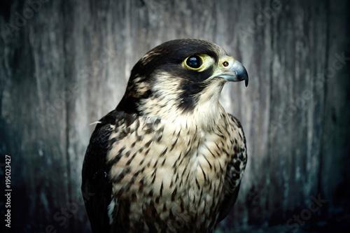 Peregrine falcon. Canvas Print