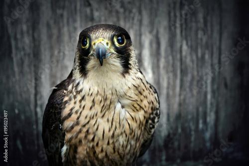 Photo  Peregrine falcon.