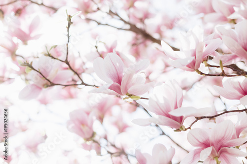 Photo sur Toile Magnolia Closeup of magnolia blossoms with blurred background and warm sunshine