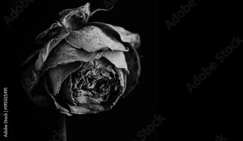 Fototapety, obrazy: Rose in the dark. Black and white