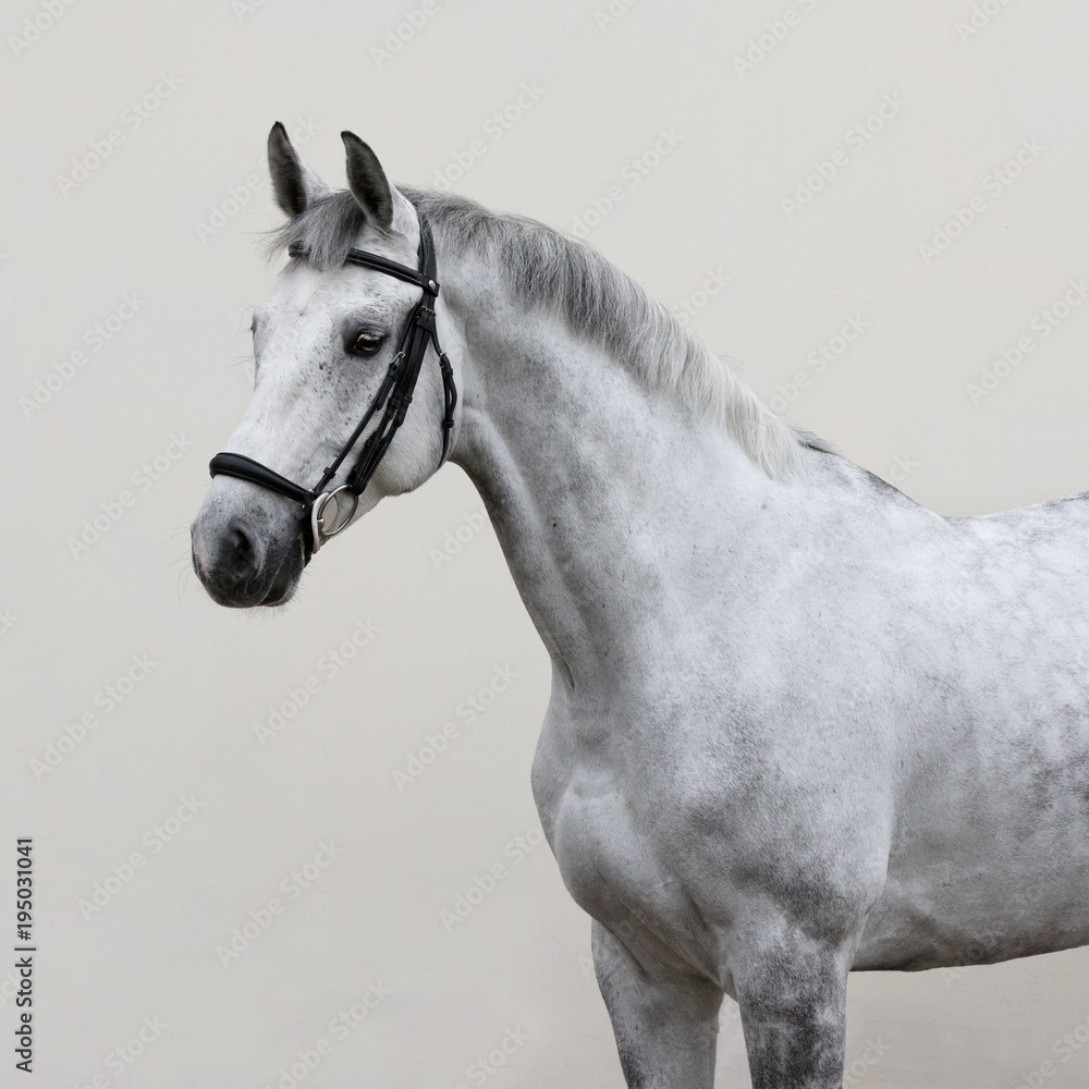 Fototapety, obrazy: Portrait of grey horse with bridle look back isolated on light background