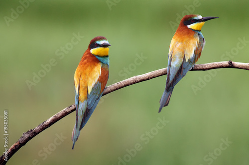 The European bee-eater (Merops apiaster) , pair on the branch with green background Wallpaper Mural