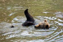The Brown Bear (Ursus Arctos) Swimming In Water. Swimming Bear.
