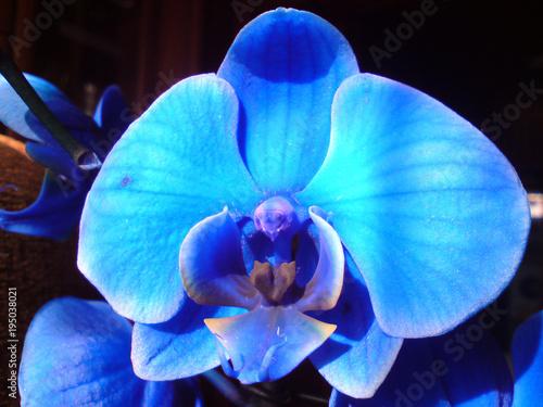 Naklejka premium Niebieski storczyk