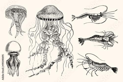 Vintage Jellyfish and Shrimp Nautical Illustrations - High Detail Vector Artwork