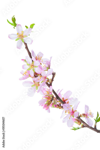 Blossoming Almond branch isolated on white background плакат