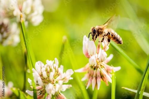 Poster Bee Bee collecting flower pollen
