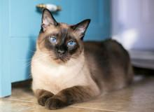 A Purebred Siamese Cat With Se...