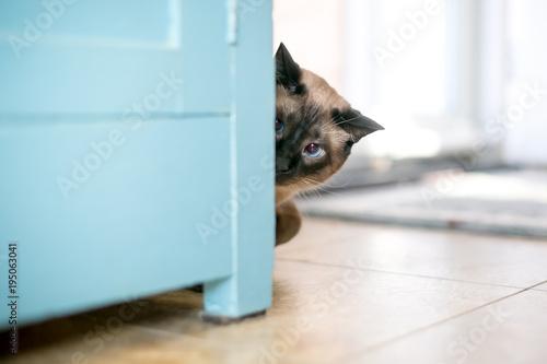 Fotografía  A Siamese cat peeking around a cabinet