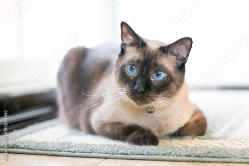 Fototapeta A purebred Siamese cat with seal point markings and blue eyes obraz