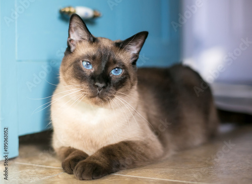 Fototapeta A purebred Siamese cat with seal point markings and blue eyes