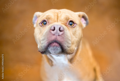 Fotografija A Pit Bull Terrier mixed breed dog with a worried expression
