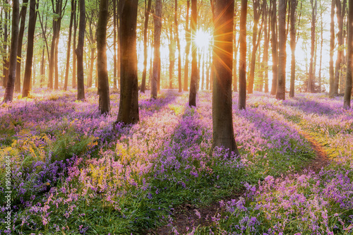 Poster Spring Beautiful woodland bluebell forest in spring. Purple and pink flowers under tree canopys with sunrise at dawn