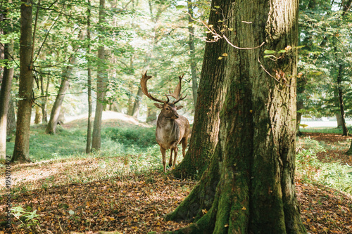 Printed kitchen splashbacks Khaki Deer with branched horns stands on a hill in an autumn forest among trees.