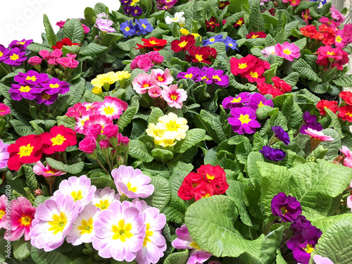 many beautiful colorful primrose flowers close-up Canvas Print