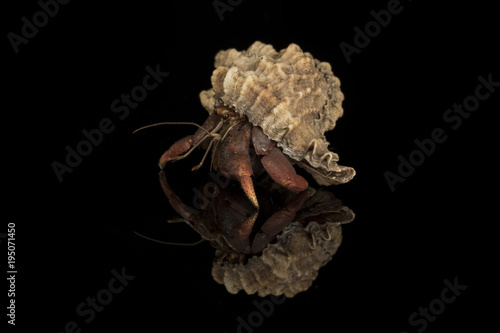 A close up photograph of a hermit crab emerging from the host shell Canvas Print