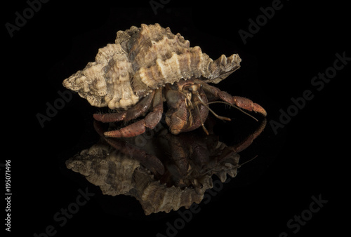 Fotografia A close up photograph of a hermit crab emerging from the host shell