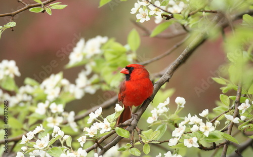 Photo  Northern Cardinal among pear tree blossoms, Upstate New York, USA