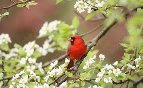 Northern Cardinal among pear tree blossoms, Upstate New York, USA Wallpaper Mural