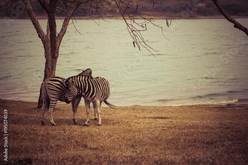 Foto op Canvas Afrika Zebras in Africa