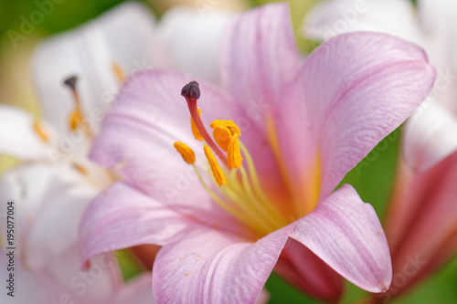 Fotografija Pink lily flower close up with visible pistil and stamens and some pollen on pet