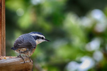 An Alert Red-breasted Nuthatch...