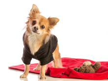 Long-haired Chihuahua Dressed ...