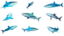 Collection Grey Reef Sharks Is...