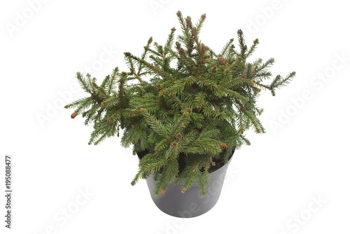 Spruce picea abies pusch with cones in a pot isolated on white background. Conifers. Christmas tree. New Year