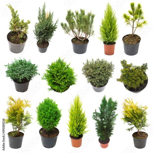 Super collection conifers of junipers, thuja, pine, cypress, spruce, fir isolated on white background. Beautiful decorative Christmas trees. Flat lay, top view