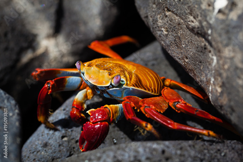 фотография  Sally Lightfood Crab hiding between rocks