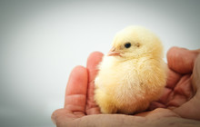 Newborn Chick On A Farmer's Hand