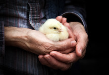 Newborn Chick On A Farmer's Hand