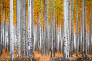 Fototapeta Las Fall Forest Scene