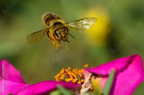 Fotografia Honey Bee pollinating flower