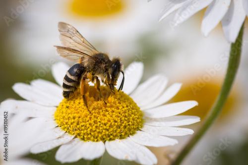 Photo Honey Bee pollinating flower