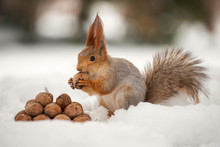 The Squirrel Stands With Nut I...